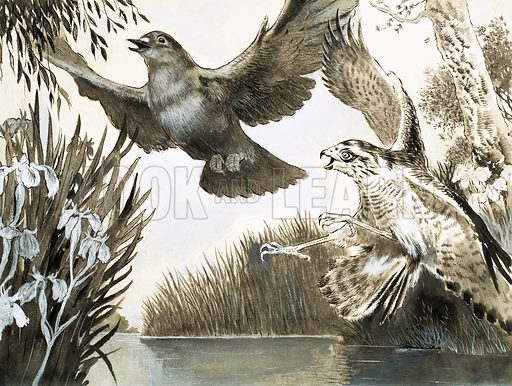The Third Encounter, illustration based on a story by FG Turnbull. Sparrowhawk attacking dove. From Look and Learn no. 284 (24 June 1967).