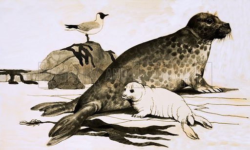 Meet the Family: Miracle on Seal Island. Seal and seal cub. From Look and Learn no. 691 (12 April 1975).