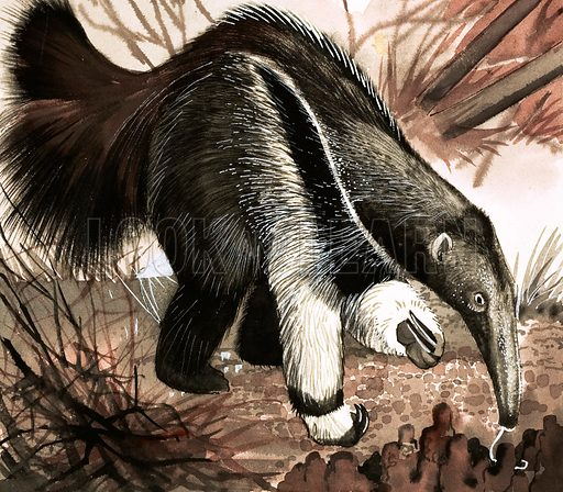 Anteater. Original artwork loaned for scanning by the Illustration Art Gallery.