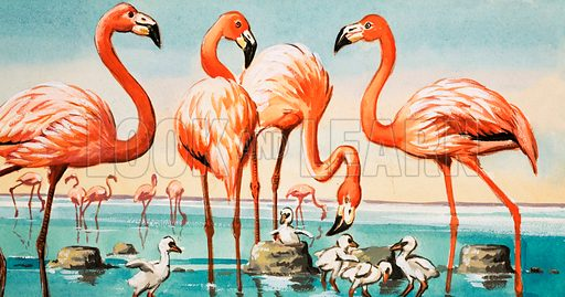 The Delta's Birds and Bulls (The Camargue). Flamingoes. From Look and Learn no. 480; reused in Look and Learn Book 1982.