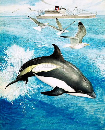 Nature's Kingdom: A Whale in the Family. White-sided dolphin leaping through the waves. From Look and Learn no. 997 (18 April 1981).