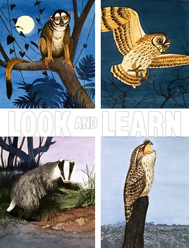Night Creatures. Douroucouli (or night ape), owl; badger; tawny frogmouth. From the Eighth Look and Learn Book of the Wonders of Nature. Original artwork loaned for scanning by the Illustration Art Gallery.