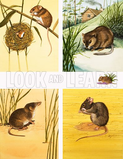 Unidentified small mammals montage including mice and vole. Original artwork from Once Upon a Time.