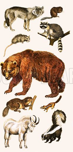 Animals and birds of Canada include the wolf, musk rat, opossum, racoon, grizzly bear, beaver, chipmunk, Rocky Mountain goat and the skunk. From The Look and Learn Seventh Book of Wonders of Nature (1973).