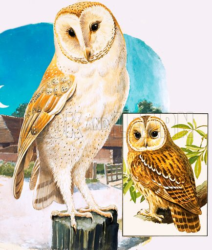 Nature's Kingdom: When the Sun Goes Down. The Barn Owl and (inset) Tawny Owl. From Look and Learn no. 932 (1 December 1979). Original artwork loaned for scanning by the Illustration Art Gallery.