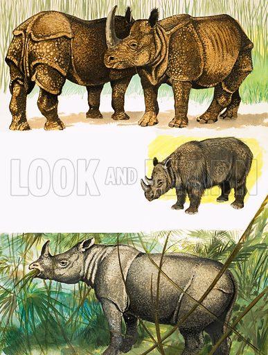 Peeps at Nature: The Rhinoceros. Top to bottom: Indian rhino, Sumatran rhino, Javan rhino. From Treasure no. 150 (27 November 1965).