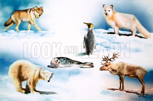 Animals of the Arctic. From Tell Me Why (?).