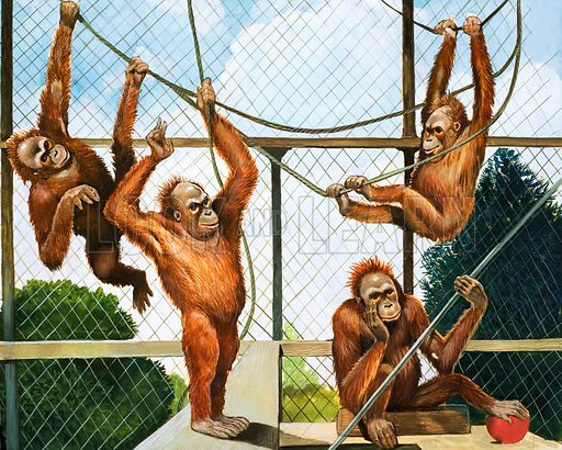 Who's Who at the Zoo: Orangutans. Cover illustration from Look and Learn no. 356 (9 November 1968).