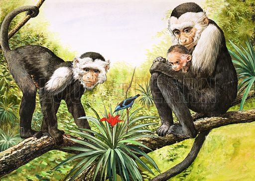 Nature Wonderland: Capuchin Monkeys. From Treasure no. 358 (22 November 1969). Original artwork loaned for scanning by the Illustration Art Gallery.