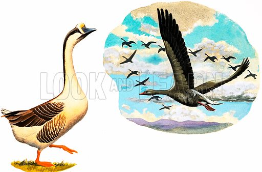 Unidentified geese. Original artwork.