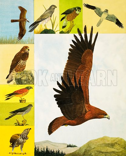 Animal Families: Birds of Prey. Main pic: Golden Eagle. Anti-clockwise from top right: Hen Harrier, Merlin, Montagu's Harrier, Marsh Harrier, Buzzard, Kestrel, Sparrowhawk, Rough-legged Buzzard. From Look and Learn no. 390 (5 July 1969). Original artwork loaned for scanning by the Illustration Art Gallery.