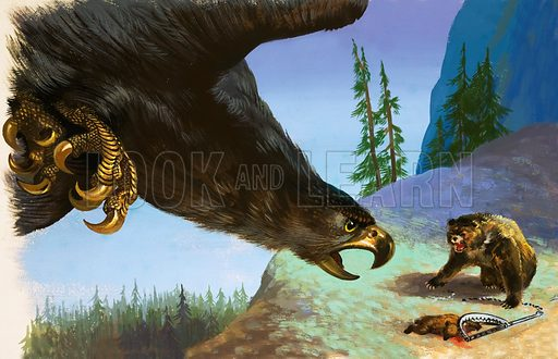 Golden Eagle attacks bear for animal in trap.