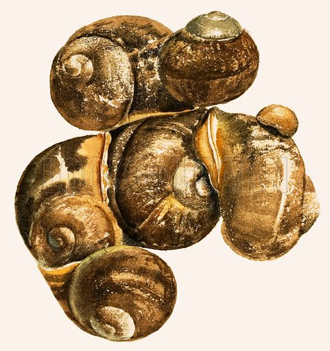 Snails and slugs. Snail shells. Original artwork from Treasure no. 115 (27 March 1965).