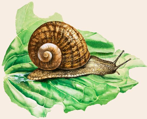 Snails and slugs. The Common Garden Snail. Original artwork from Treasure no. 115 (27 March 1965).