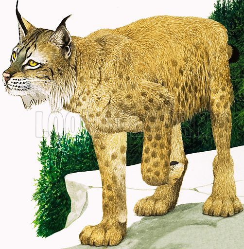 Nature Wonderland: Poland and the Carpathian Mountains. The Lynx. Original artwork from Treasure no. 335 (14 June 1969; reused in Look and Learn no. 1047, 3 April 1982).