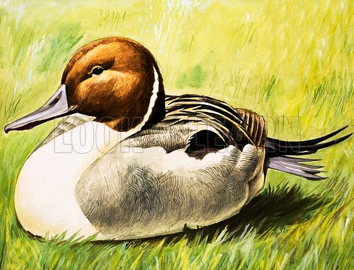 Duck. Original artwork.