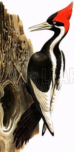 Ivory-billed woodpecker, picture, image, illustration