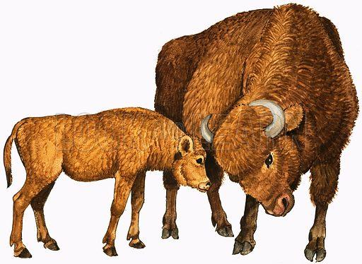 Buffalo and calf. Original artwork.