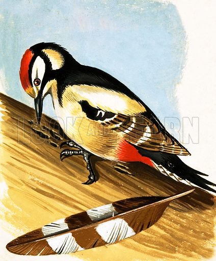 Woodpecker. Original artwork.