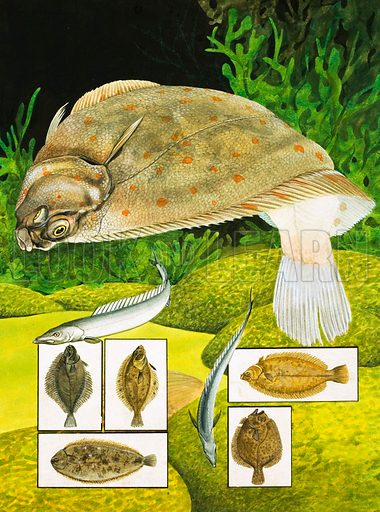 Nature's Kingdom: The Fish That Go Flat Out. Main pic: Plaice; left insert: Flounder, Dab, Common Sole; right insert: Lemon Sole; Turbot, Solenette. Original artwork from Look and Learn no. 982 (3 January 1981).