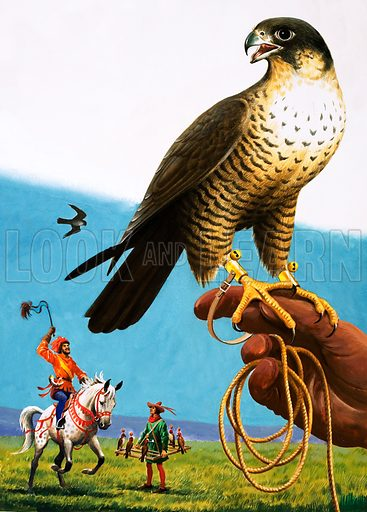 Peregrine falcon, picture, image, illustration