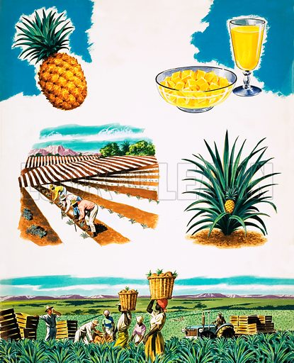 Growing Pineapples. Original artwork from Treasure no. 72 (30 May 1964).