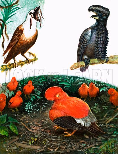 The Colourful Cotingas. Nearly 90 different kinds of birds found in the tropical areas of South America belong to the cotinga family. (top) Three-wattled bellbird (left) and Umbrella Bird (right); Bottom: Cock-of-the-rock. Original artwork from Look and Learn Book 1983.