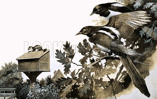 Magpie in the post, illustration based on the story by FG Turnbull. Magpies watching a stoat atop a bird house. Original artwork from Look and Learn no. 291 (12 August 1967).