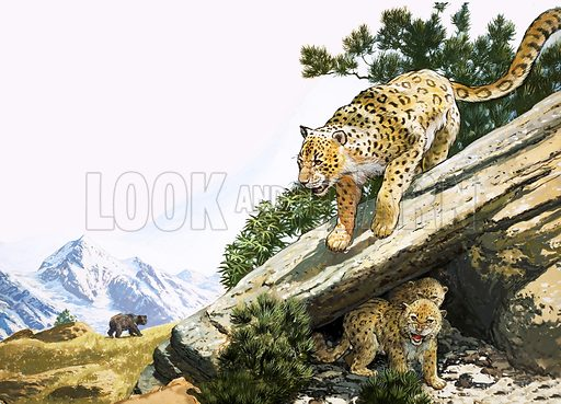 The snow leopard. Original artwork from Treasure no. 352 (11 October 1969; resued in The Look and Learn Book 1981).