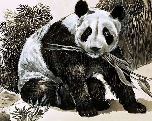 Fight for Survival. Panda. Original artwork from Look and Learn Book 1981.