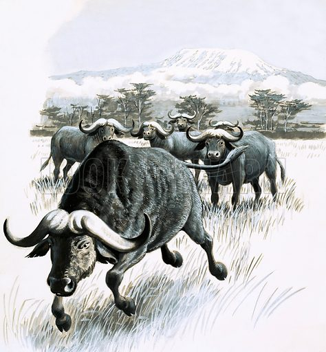 Nature's Kingdom: Steer Clear of the Buffalo! Original artwork from Look and Learn no. 1014 (15 August 1981).