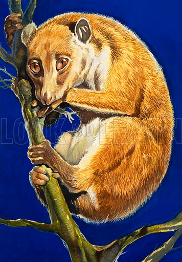 The Old Man of the Forest. The potto. Original artwork from Look and Learn Book 1981.