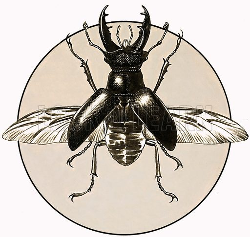 Stag beetle,  picture, image, illustration