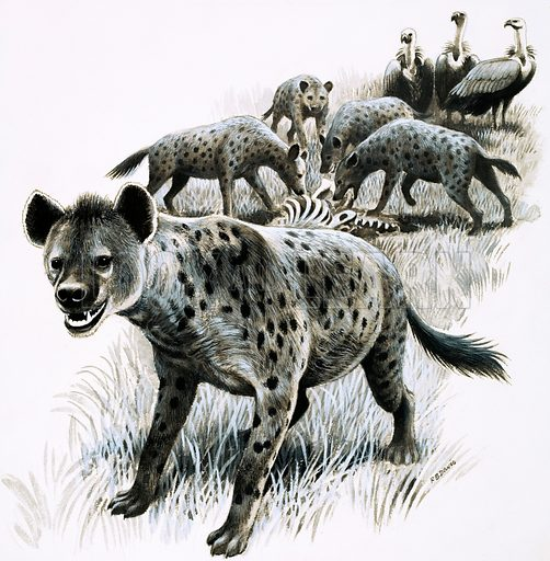 Hyenas feeding on a zebra carcas with vultures looking on. Original artwork (dated 14 July).