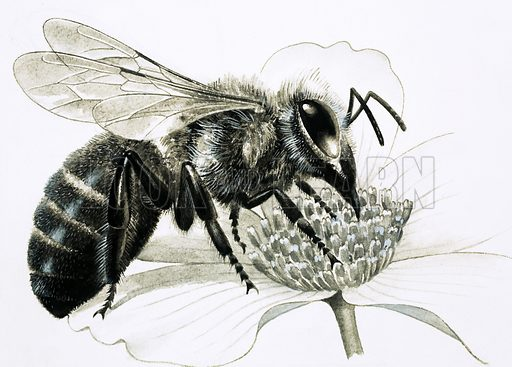 Nature's Kingdom: A Taste of Honey. Worker bee collecting nectar from flower. Original artwork from Look and Learn no. 1010 (18 July 1981).