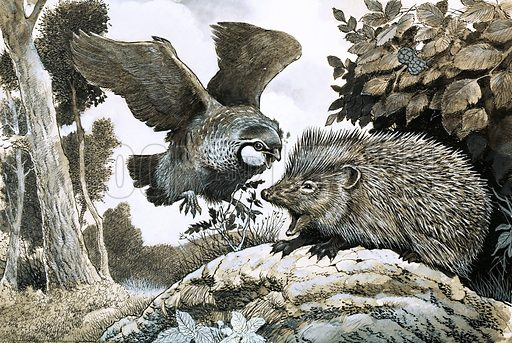 Unidentified bird attacking a hedgehog. Original artwork from Look and Learn.