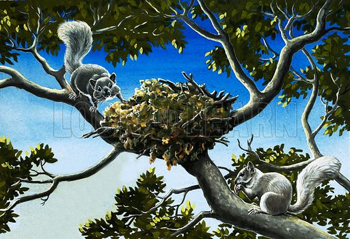 Gray squirrels. Original artwork for Treasure annual 1971.