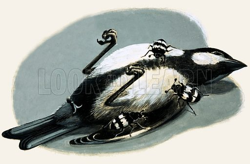 Dead bird being eaten by beetles.  Original artwork for L&L Book 1982.