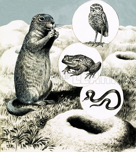 Nature's Neighbours: The Underground Hotel. In wild areas of America the Prairie Dog lives in an elaborate system of burrows which other animals, including the burrowing owl, toads and snakes, appreciate, often taking up residence. Original artwork from Look and Learn no. 465 (12 December 1970).