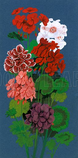 The Flowers That Bloom: Gentle 'Geraniums'. Geraniums. Original artwork from Look and Learn no. 465 (; reused in L&L Book 1982).
