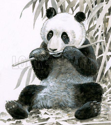 Panda chewing bamboo.