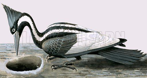 Ivory-billed woodpecker. Original artwork (dated 14 June).