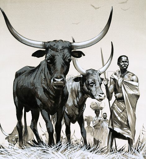 The Story of Africa: The Bantu. Ankole cattle are vital to the Bantu economy in Africa. Their distinctive long horns can be seen in ancient Egyptian tomb-paintings and in very early rock-paintings. Original artwork from Look and Learn no. 330 (11 May 1968).