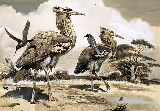 Wonders of Nature: Winged Hunter Takes a Ride. When the bee-eater is looking for a meal, it takes a lift on the back of the larger Kori Bustard. Original artwork from Look and Learn no. 172 (1 May 1965).