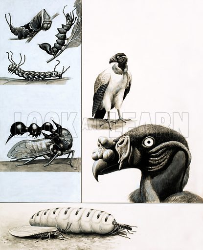 Curious Creatures. Clockwise from top left: a trio of caterpillars (Puss Moth, Lobster Moth, Brahma Caterpillar); vultures; termites (egg-laying Queen termite plus winged King termite); the quite harmless Treehopper looks dangerous. Original artwork from Look and Learn no. 1048 (10 April 1982).