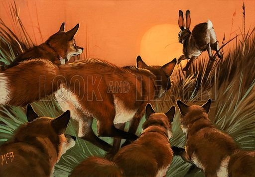 Foxes chasing a rabbit.