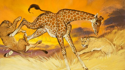 Giraffe kicking lion.