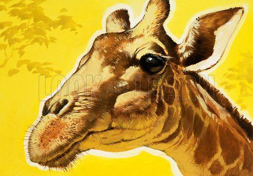 Giraffe's head.