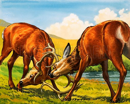 Red deer stags, picture, image, illustration
