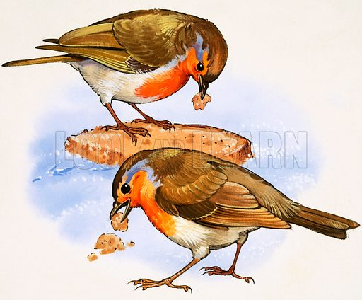 Robins eating a piece of bread.